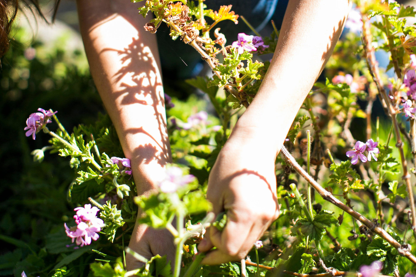 Hands picking wild flowers